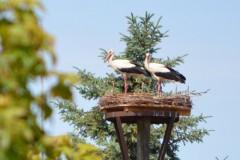Storchenfamilie im Dorf