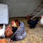 der Hühnerstall